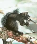 mt-grahm-red-squirrel